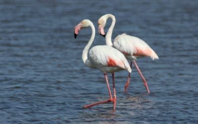 Where to see flamingos in Algarve