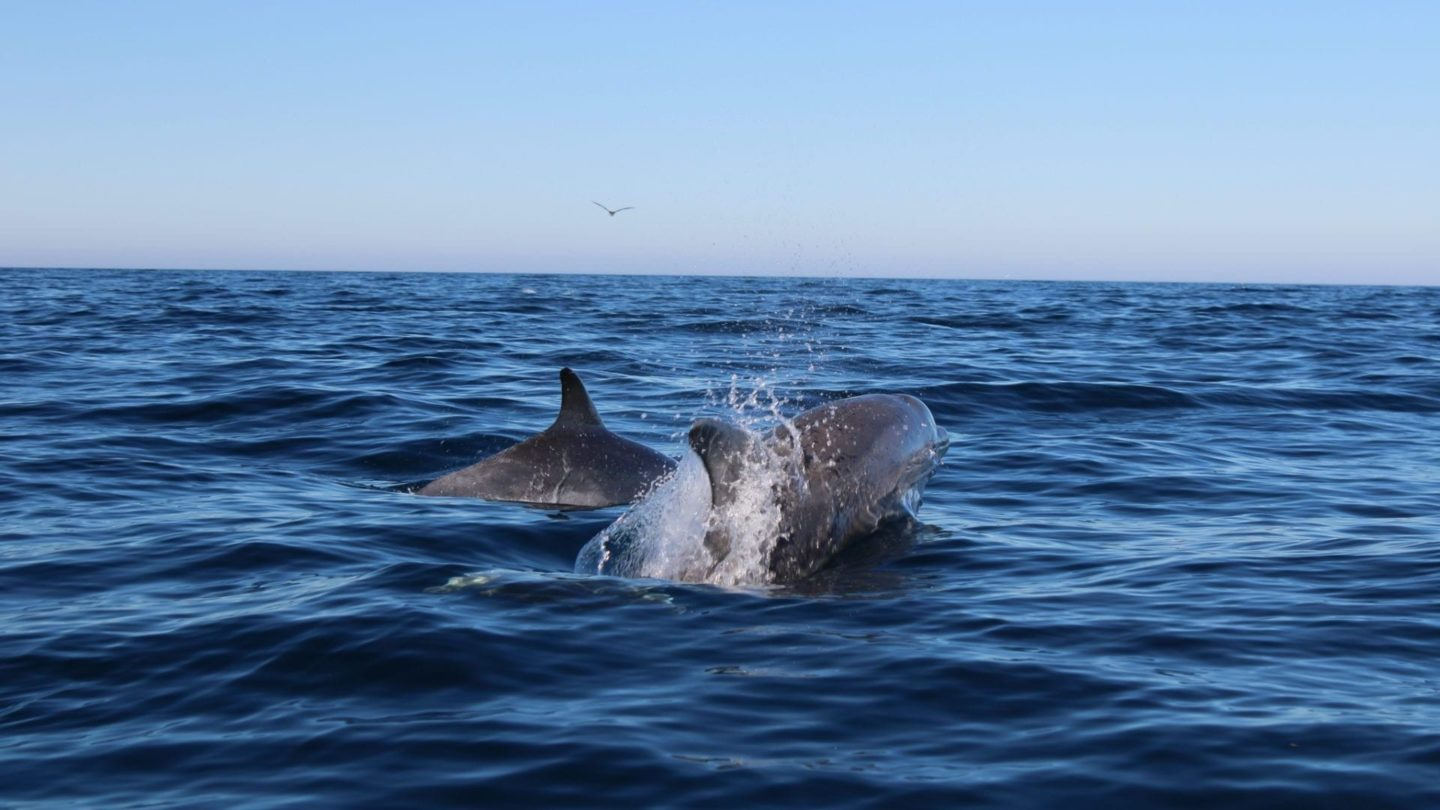 Dolphin Watching from Olhao